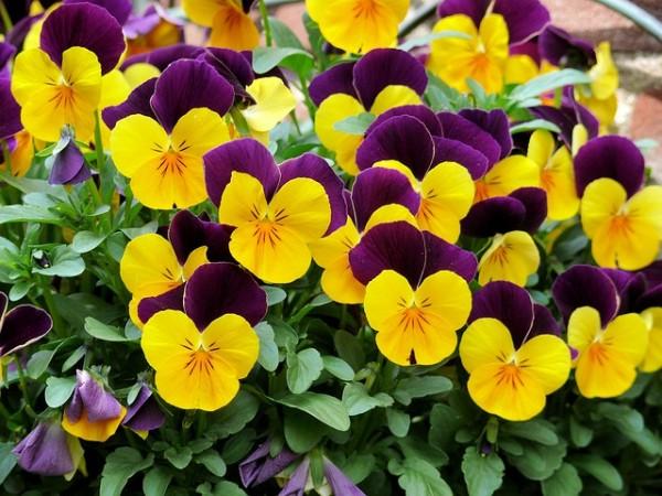 violets-tricolor