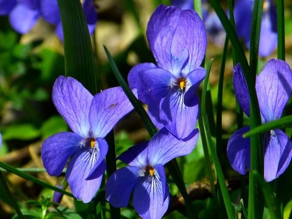 purple-variety
