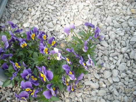 Pansy - Viola tricolor property