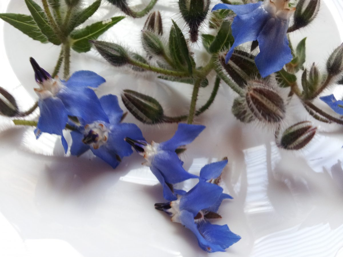 Borage-flowers-uses