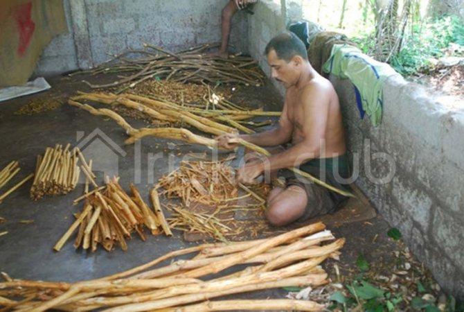 Sri Lanka harvesting cinnamon photo