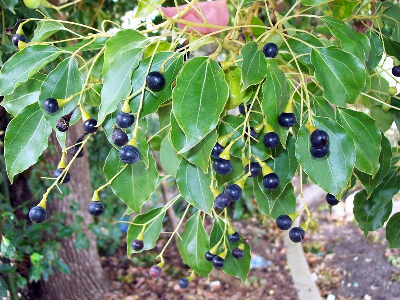 Camphor-berry tree