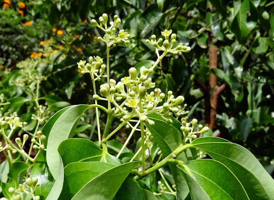 Camphor tree-flowers