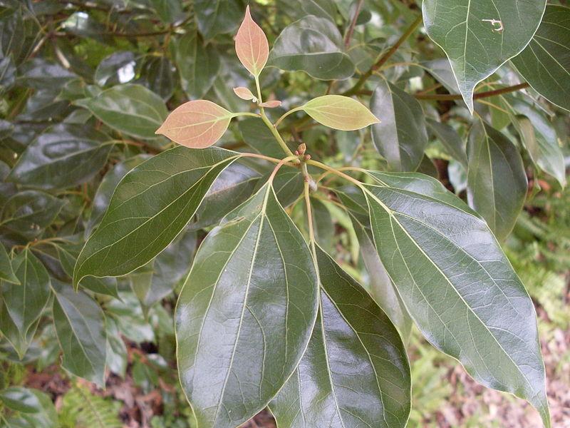 Camphor Tree- Leaves