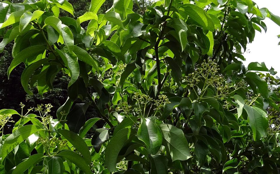 Camphor tree-cultivation