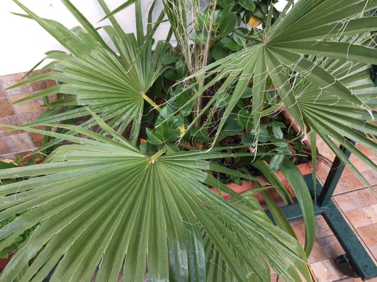 Serenoa-repens-cultivation