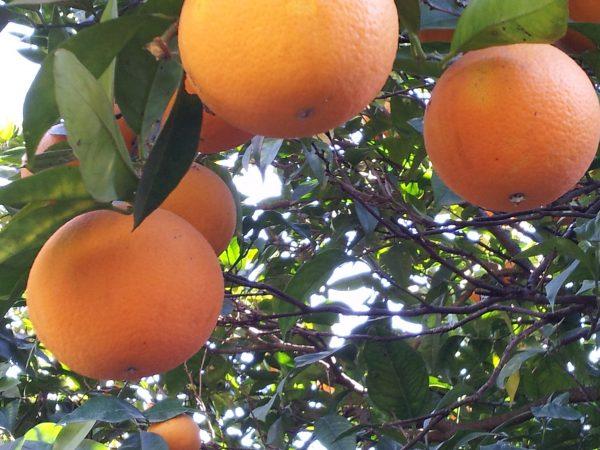 Oranges-harvest