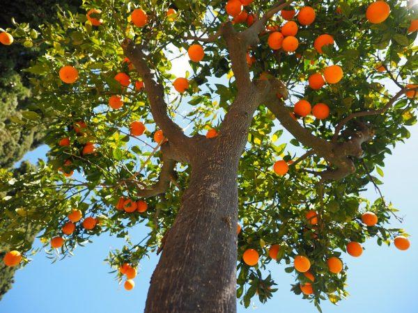 orange-trunk