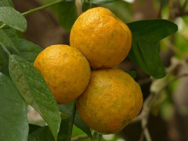 bitter-orange-uses