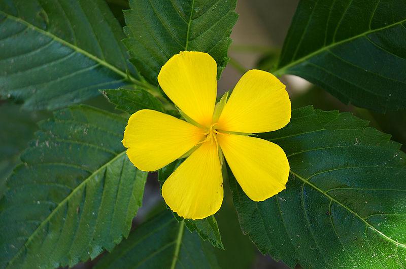 Turnera- damiana-flower