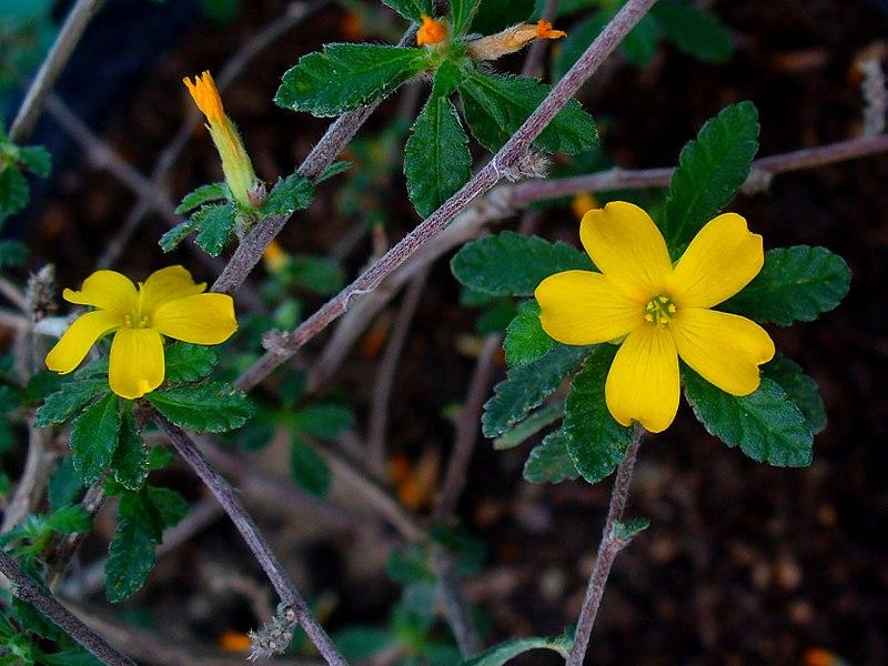 Damiana- Turnera-cultivation