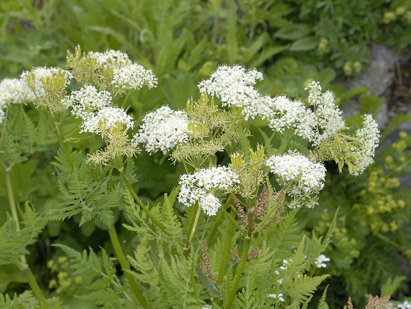 Wild fennel-Mirride odorous-cultivation