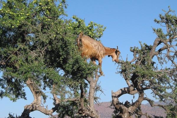 tree-argan