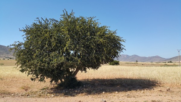 plant-tree-argan