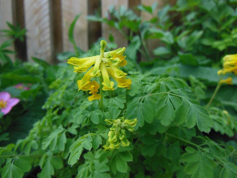 Corydalis-flower-leaves