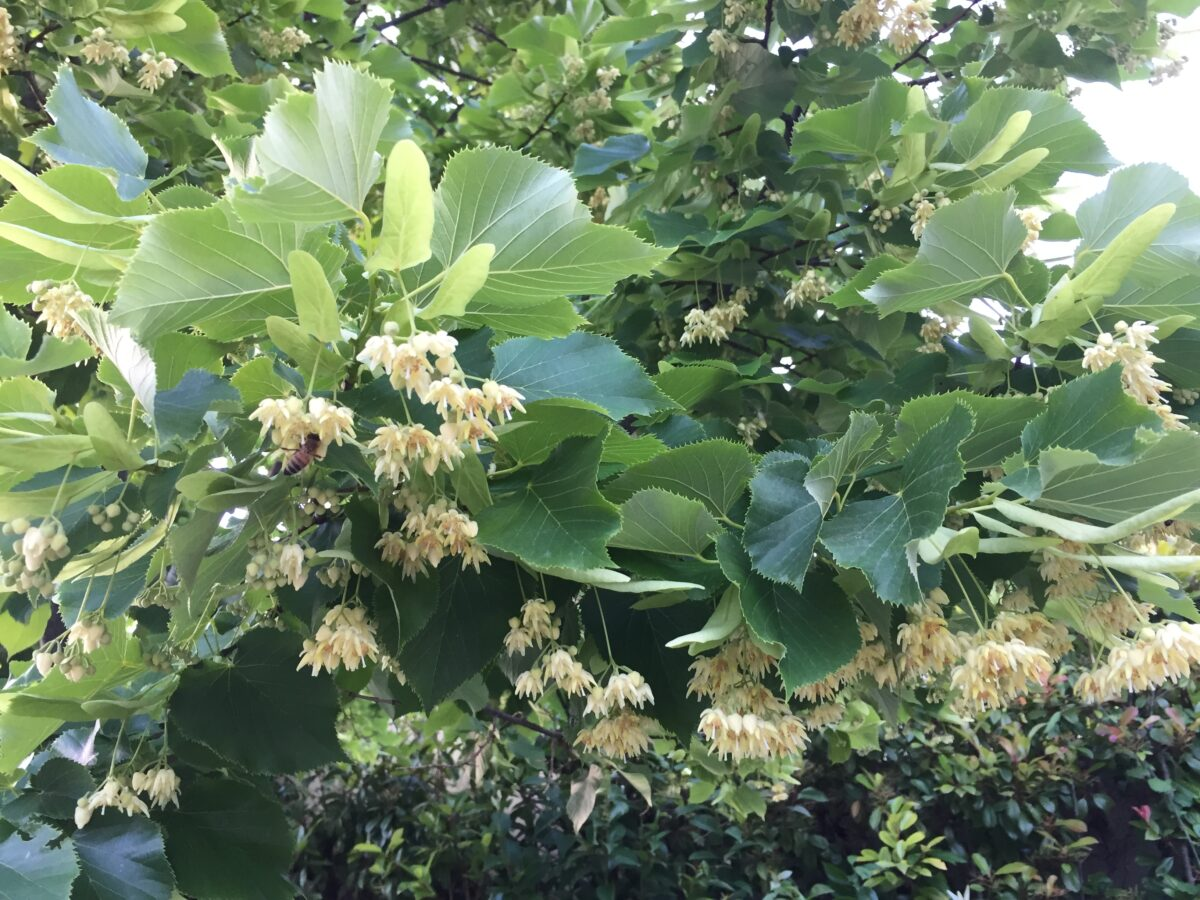 Linden-flowering