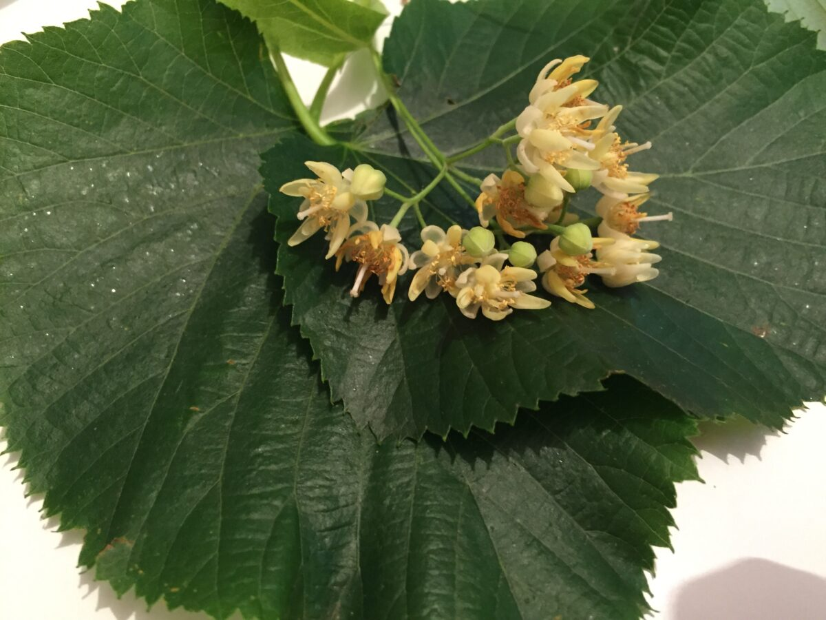 infusion-leaves-flowers of Linden