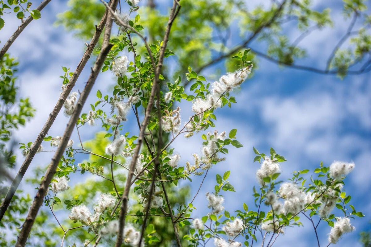 Poplar-branches