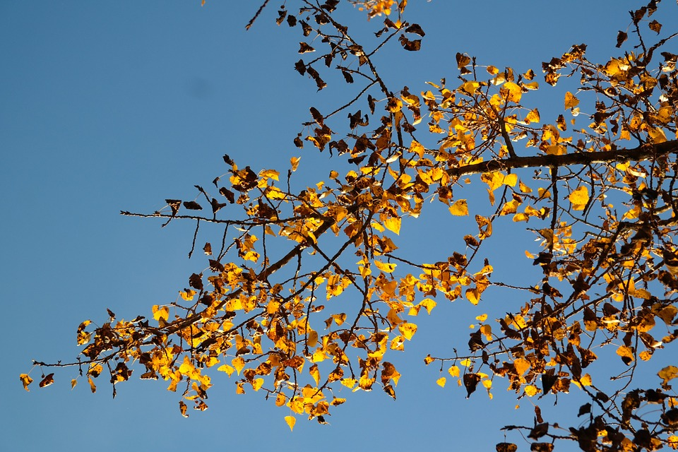 Poplar-leaves-autumn