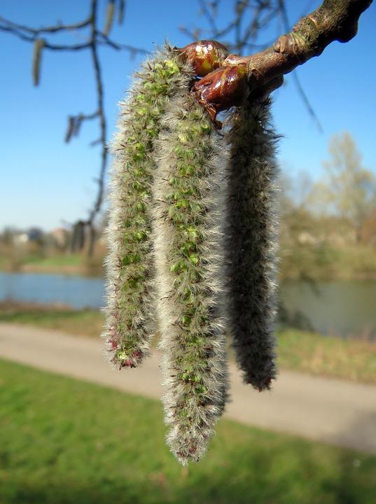 Populus-tremula-catkins