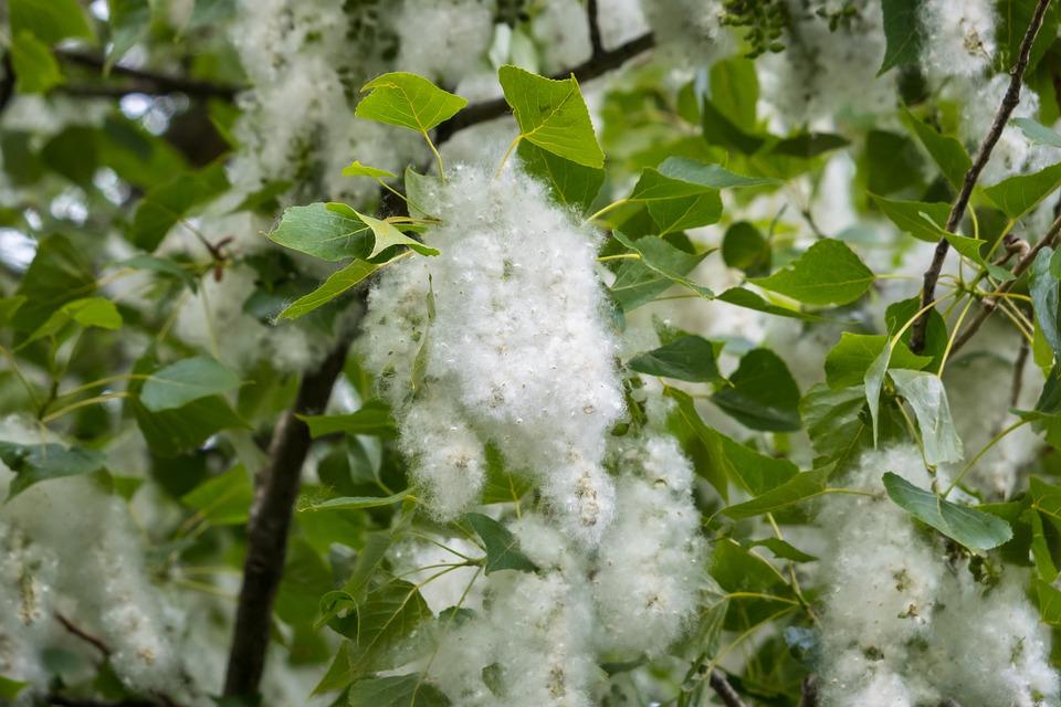 Poplar-seeds