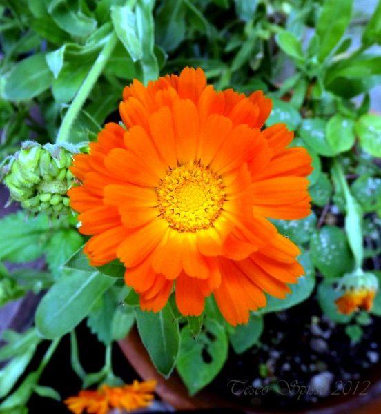 marigold-cultivation