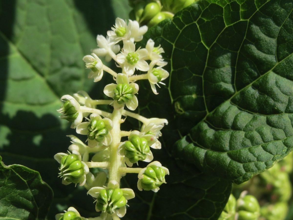 Phytolacca americana-flowers