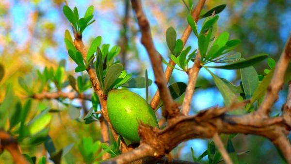 fruit-oil-argan