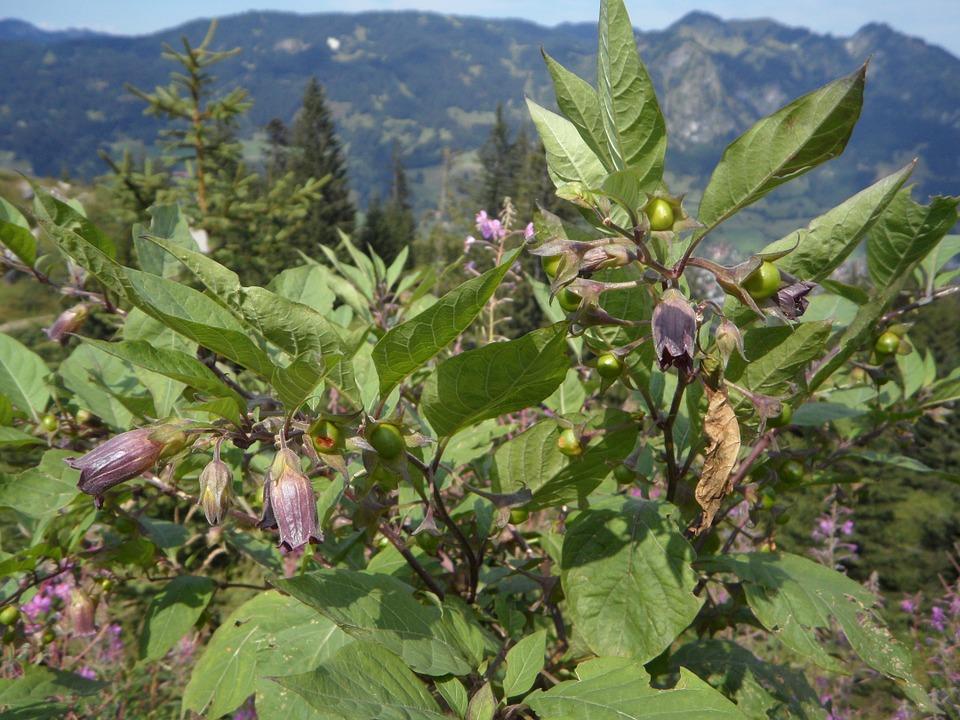 Belladonna-Atropa belladonna