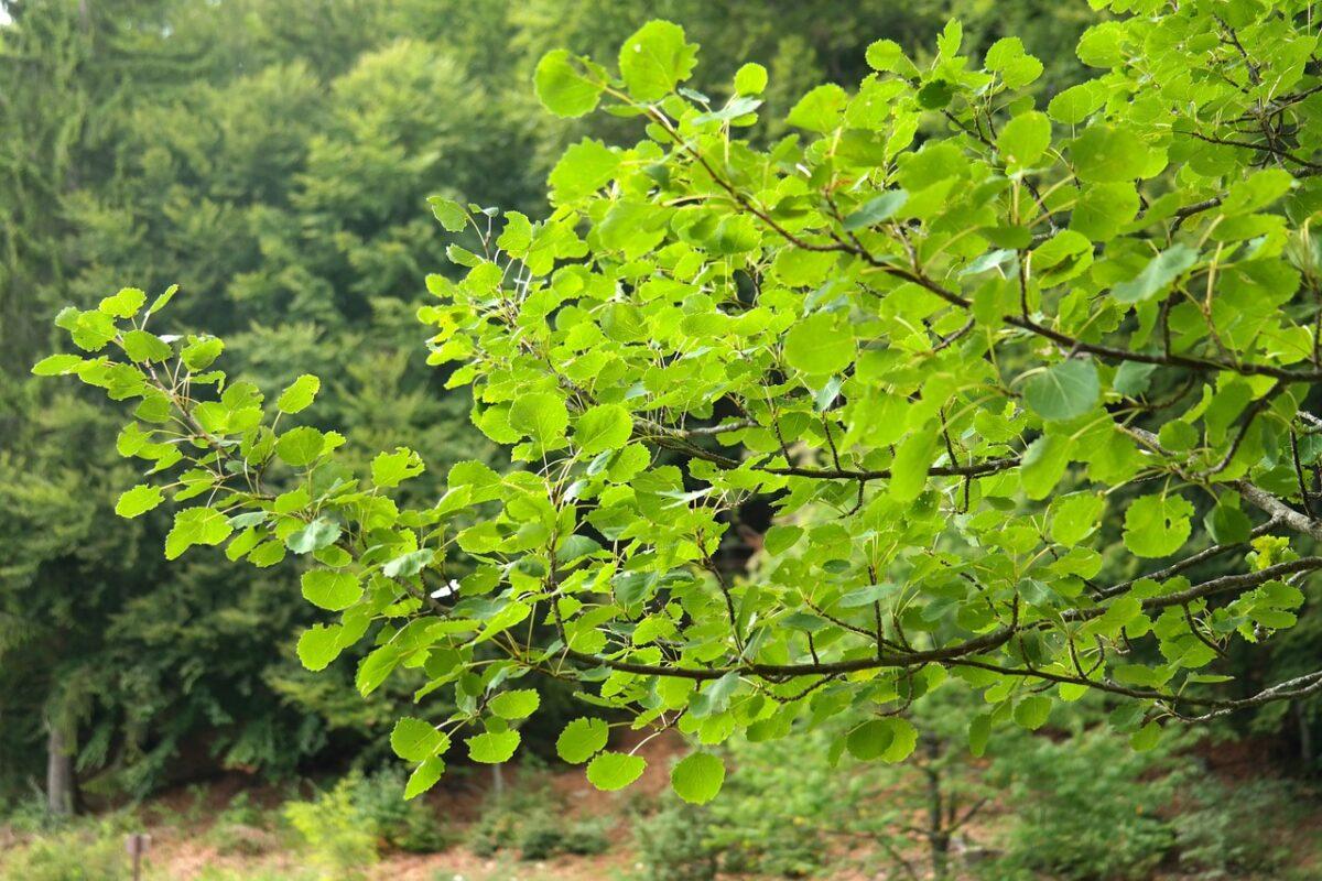 Poplar-Populus