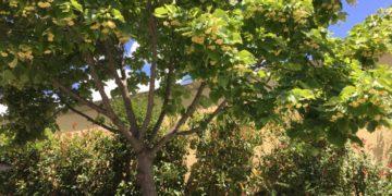 Tiglio-Tilia-albero